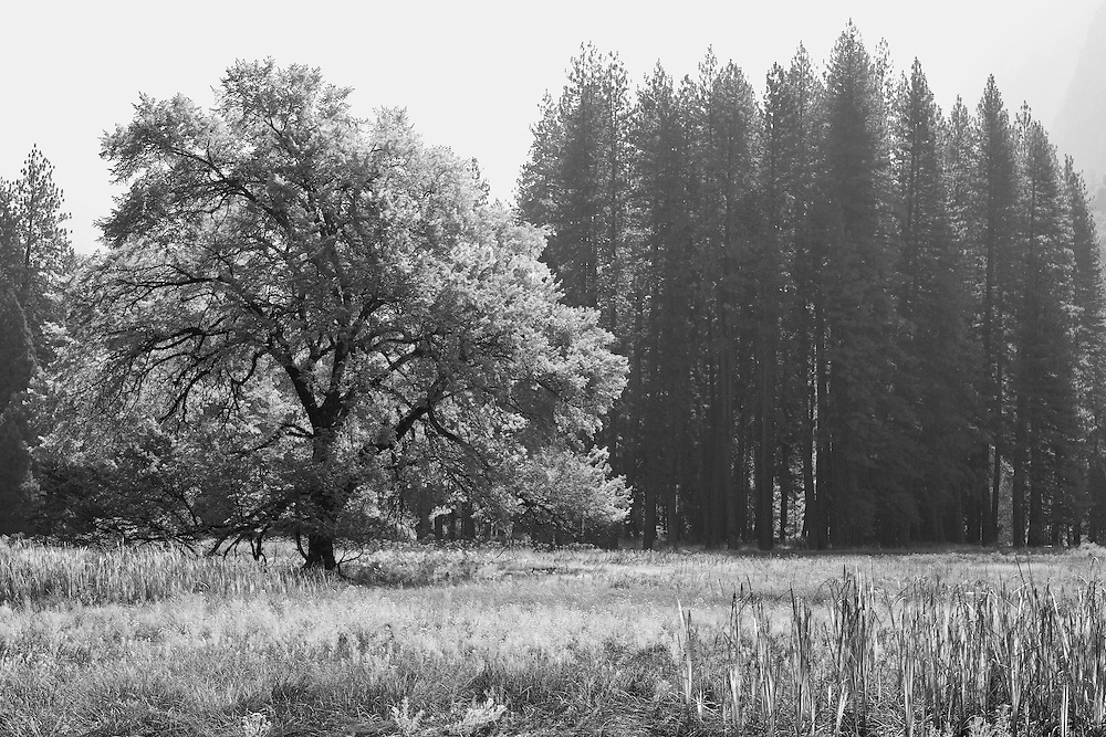 Lone Oak Tree - Yosemite Valley Meadow - Yosemite - Black & White