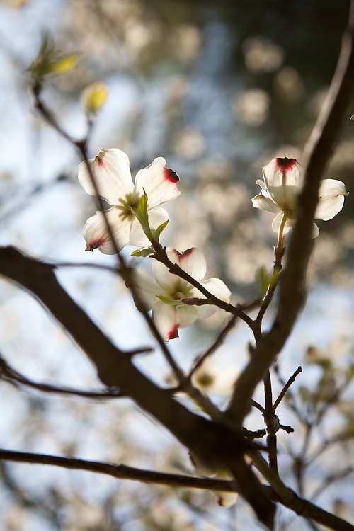 White blooms of a native dogwood in spring.