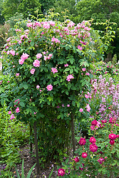 Rosa 'Ispahan' in the Rose Garden at Sissinghurst Castle
