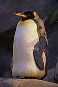 Puffins and Penguins Editorial and Stock Images