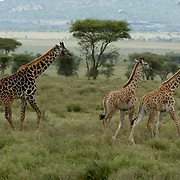 Giraffe (Giraffa camelopardalis) Mother with young. Serengenti National Park. Tanzania. Africa. February.