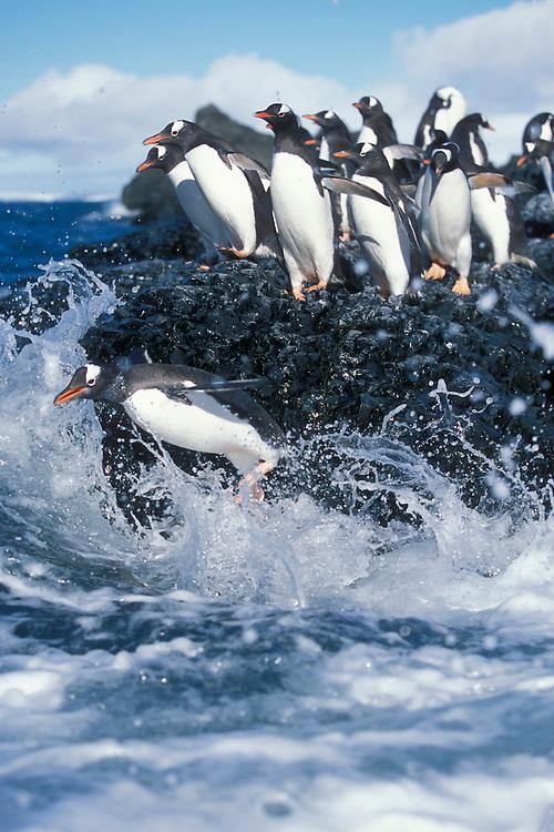 Antarctica, Livingston Island, Hannah Point, Gentoo penguins (Pygoscelis papua) gather at rock ledge along ocean shore