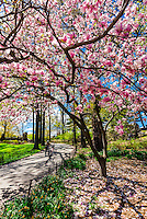 Trees and flowers in bloom in Central Park in Springtime, New York, New York USA.