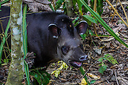 South American tapir (Tapirus terrestris),  Photographed in Pampas, Bolivia