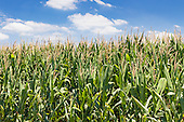 Crops - Corn and Maize