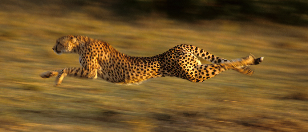 Cheetah (Acinonyx jubatus) running across the Serengeti Plains after prey. Kenya