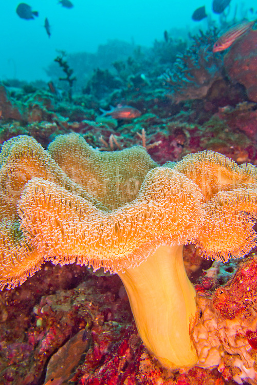 Alberto Carrera, Elephant Ear Coral, Green Toadstool Coral, Leather Coral, Soft Coral, Lembeh, North Sulawesi, Indonesia, Asia