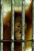 One of orang utan inside the cage at forest around Bukit Tiga Puluh National Park. orang utan get reintroduction program in sungai pengian center of reintroduction for orang utan run by Frankfurt Zoological Society(FZS)