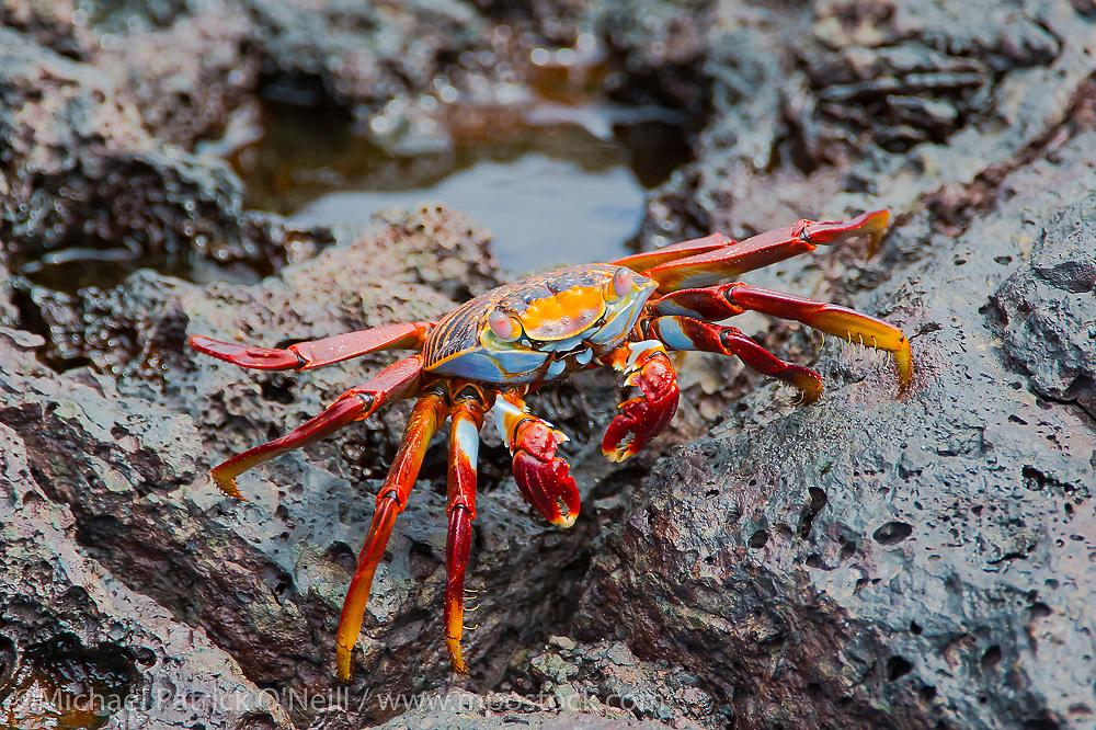 A Sally Lightfoot Crab, Grapsus grapsus, crawls along the water line of Bartolome Island, Galapagos