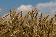 Wheat Field, Kent County MarylandWheat Field, Kent County Maryland