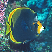 Black Butterflyfish inhabit reefs. Picture taken GBR, Australia.