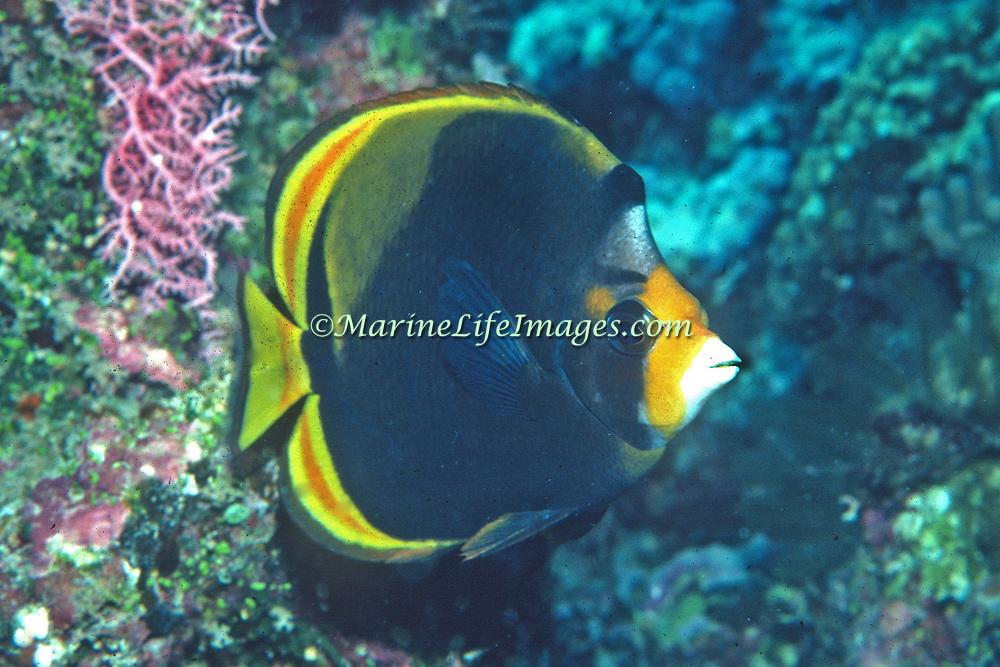 Black Butterflyfish inhabit reefs. Picture taken GBR, Australia.