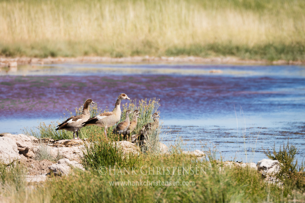 A family of egyptian geese stands on the bank of a waterhole, Etosha National Park, Namibia.