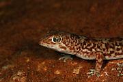 Gibber Gecko close up