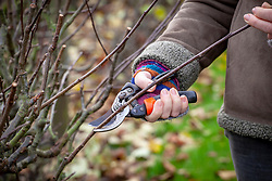 Pruning apple cordons in winter. Cutting back by a third to just above a bud