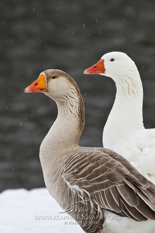 Toulouse Goose, winter, New Zealand