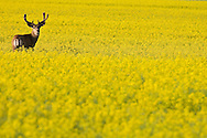 © 2007 Randy Vanderveen, all rights reserved.Grande Prairie, Alberta.While one mule deer buck keeps watch surrounded by the bright yellow canola blooms in a field west of Grande Prairie. Canola fields in the Peace Country are at least two weeks behind thanks to a late spring.