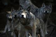 Wolves at Omega Park, Montebello Quebec, Canada