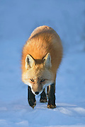 Red Fox and kit captured in Wheat Ridge, Colorado.