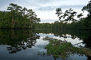 The Black River is part of an amazing, blackwater river system the coastal region of South Carolina. It is bordered by ancient cypress trees, covered in spanish moss and is also an important breeding habitat for swallowtail kites, which are making a comeback in South Carolina. The Black River is a popular fishing spot for locals.