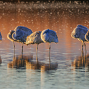 Sandhill cranes stand sleeping in the waters of Bosque del Apache National Wildlife Refuge in New Mexico in the pre-dawn light just before sunrise.