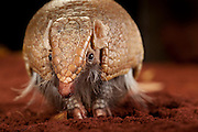 La Plata Three-Banded Armadillo (Tolypeutes matacus). It has an extensive range ; it can be found throughout Argentina, Brazil, Paraguay and Bolivia. Captive. © Michael Durham / www.DurmPhoto.com