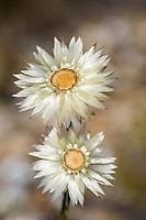 Everlasting flowers, Bredasdopr, Western Cape, South Africa, Syncarpha spp