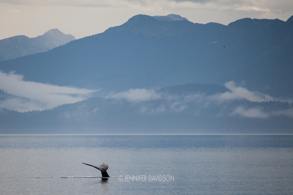 A humpback whale dives in Iyoukeen Cove, Alaska.