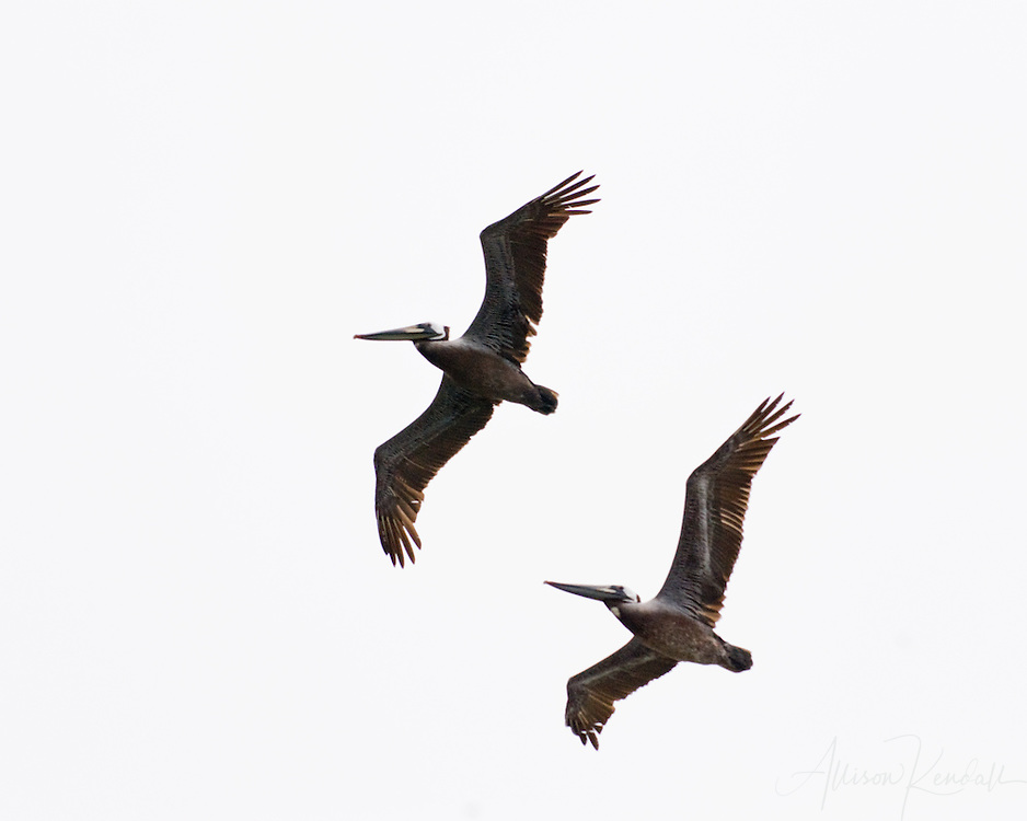 A pair of pelicans pass overhead, great detail in wings