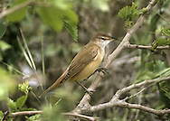 Great Reed Warbler Acrocephalus arundinaceus (L 17-20cm) recalls a Reed Warbler but is much larger, with a stouter bill; it favours large reedbeds and has a loud, frog-like song.