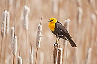 A Yellow Headed Blackbird sits on a cattails this bird has leg bands one metal and two yellow plastic.