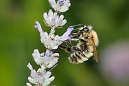 An Insect, The Common Carder Bumblebee, Bombus pascuorum