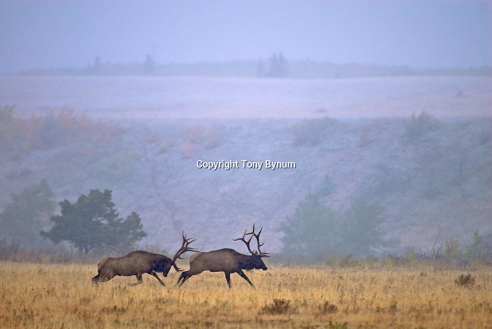 bull elk chases bull elk after a fight during fall rut raining