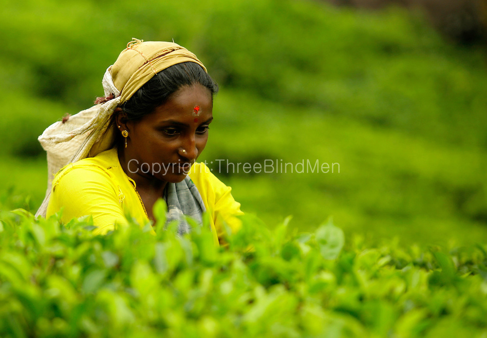Tea plucker in the Central Highlands. Sri Lanka