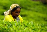 Tea plucker in the Central Highlands. Sri Lanka