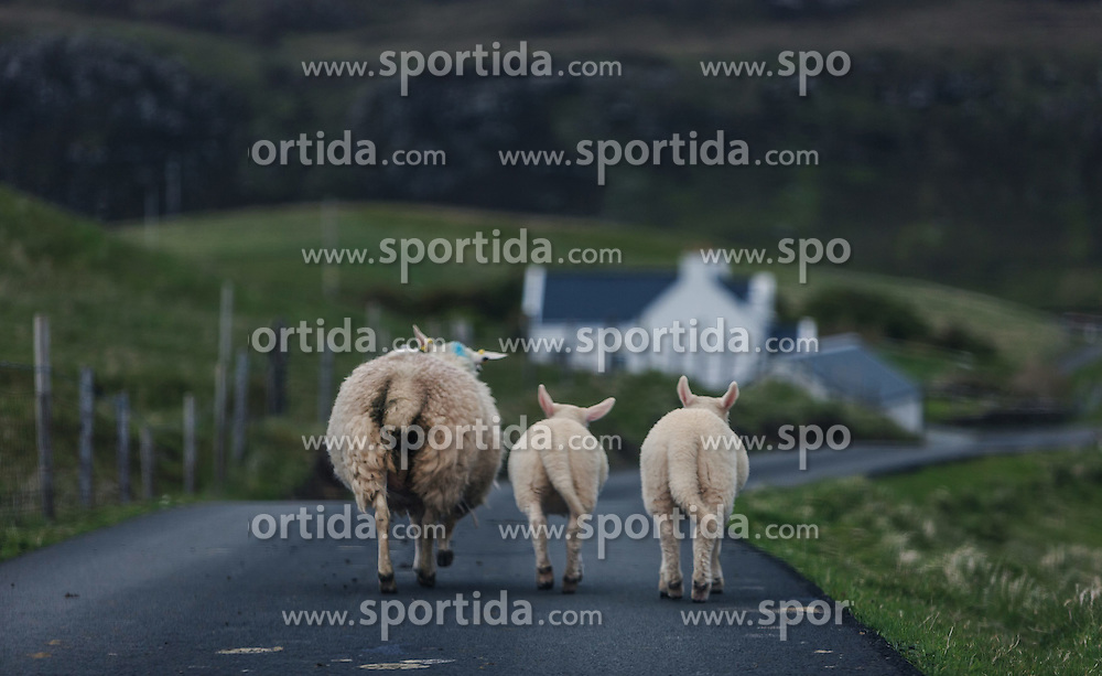 THEMENBILD - ein Mutterschaf mit ihre zwei Lämmer auf einer Strasse in Glendale, Isle of Skye, Schottland, aufgenommen am 10. Juni 2015 // A Ewe with her two lambs on a road, Glendale, Scotland on 2015/06/10. EXPA Pictures © 2015, PhotoCredit: EXPA/ JFK