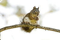 A Pine Squirrel sits on a branch and stops to have a few bites of the pine seed it just gathered.