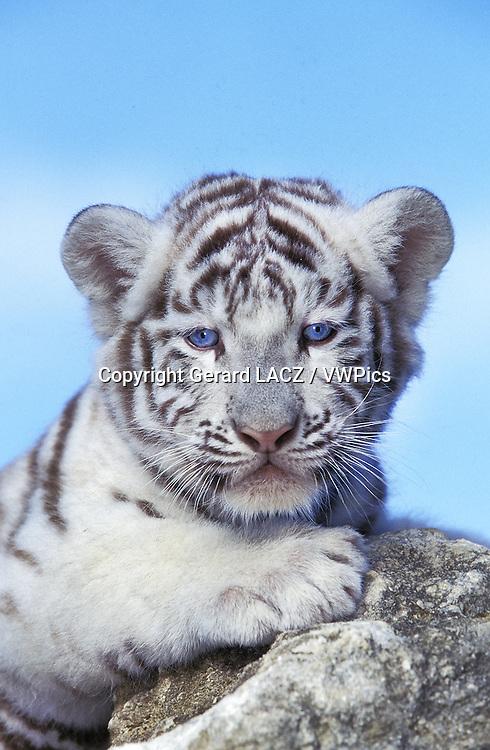 White Tiger,  panthera tigris, Cub