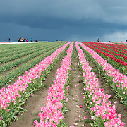 Wooden Shoe Tulip Farm, Oregon.