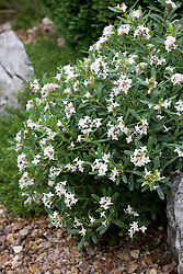 Daphne x transatiantica Eternal fragrance syn. D. 'Blafra'