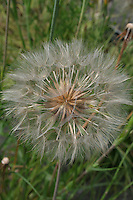 Dandelion seed head detail