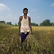 Bijila Oram (25) cutting paddy at his own field. Bhalutudhia village will soon be relocated to a resettlement colony as it?s land was allotted to an industrial project.