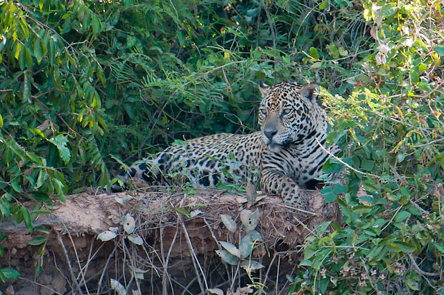 Jaguar sits along the Cuiba river in Pantanal Brazil
