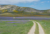 Dirt road leading through orange Common Fiddleneck, blue Great Valley Phacelia and yellow Goldfields below the Temblor Range in the Carrizo Plains National Monument, California during a super wildflower bloom on April 4, 2019.