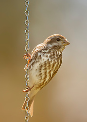 A Friendly Finch Stopped For A Rest On Some Chain Links