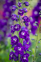 Delphinium F1 Aurora Deep Purple
