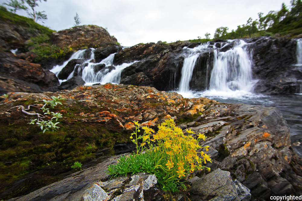 mountain flowers next to a small waterfall near the lake Ramsjøen in Tydal, Mid-Norway. Just south of the Skarvene Roltdal national park, and not far from the hiking trail in the mountain Sylene on the border to Sweden. Gulsildre (Saxifraga aizoides), ved Ramsjøelva i Tydal. English: Yellow Mountain Saxifrage or Yellow Saxifrage.