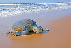 olive ridley sea turtle, Lepidochelys olivacea, vulnerable species, adult and hatchling face-to-face, Padampeta Beach, Rushikulya Rookery, Odisha, India, Indian Ocean