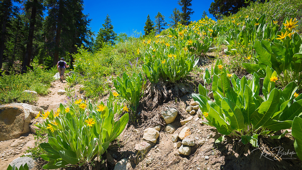 Hiker and wildflowers on the Fern Lake Trail, Inyo National Forest, June Lake, California USA
