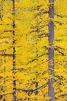 Forests of Western Larch (Larix occidentalis) displaying their golden needles in autumn, Flathead National Forest Montana USA
